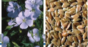 photos of Flax flowers and seeds