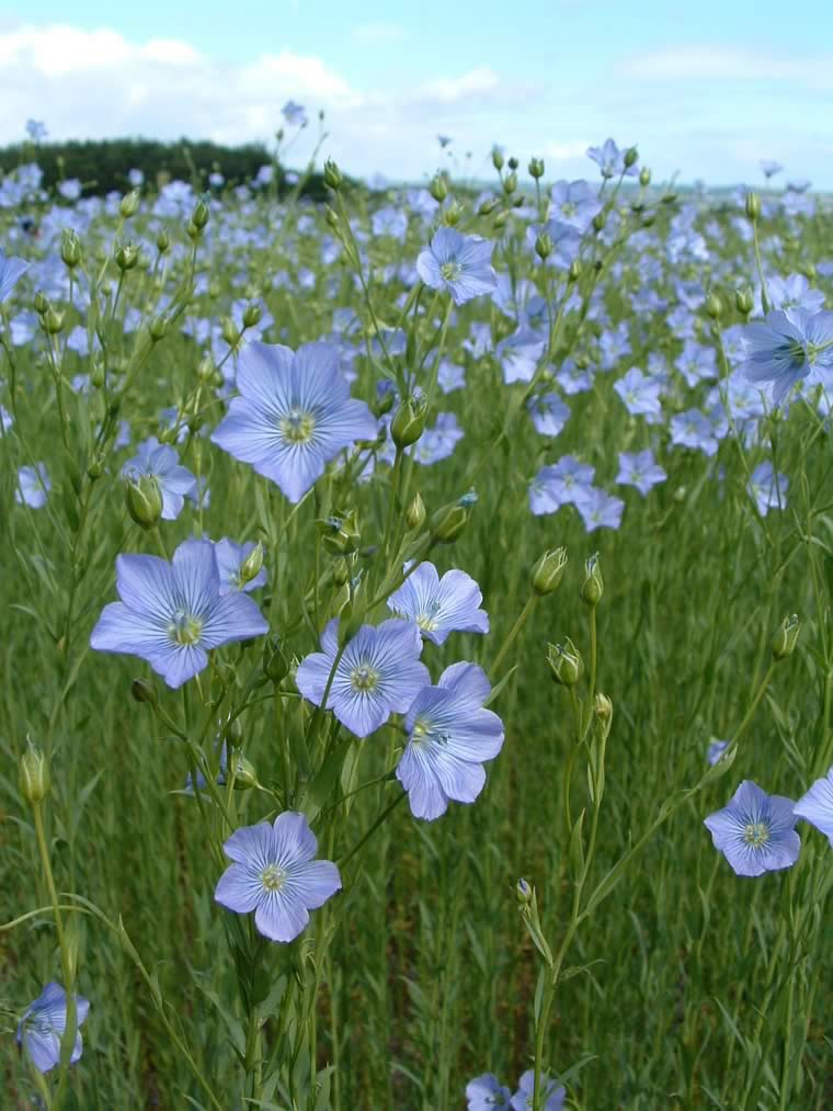 Flax PAGE