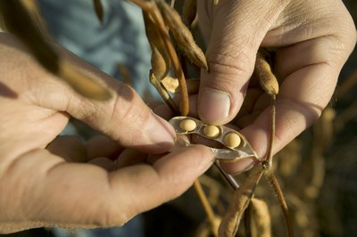 soybean in hands   closeup