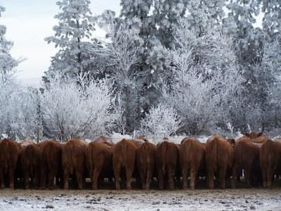 081026 bulls at bunk.JPG