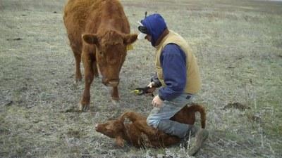 171010 tagging calf