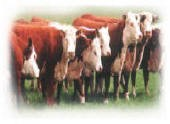 herefords