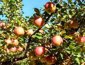 This is an apple variety trial.