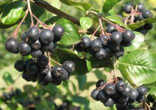 These are some aronia fruits.