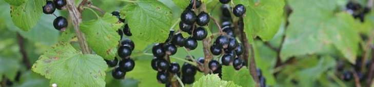 Some black currant berries.