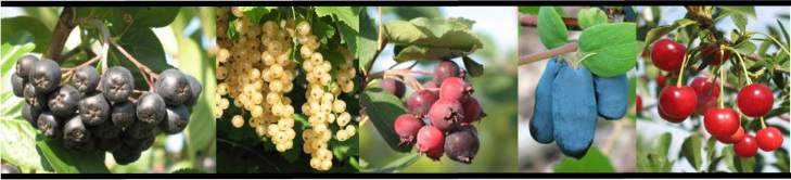 A collage of fruits grown at the CREC.