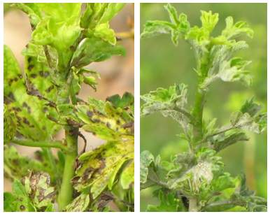 Two gooseberry plants that are infected.