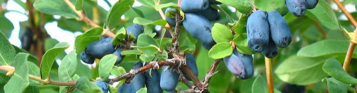 Some blue haskap berries on the plant.