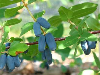 A closeup of a haskap berry cluster.