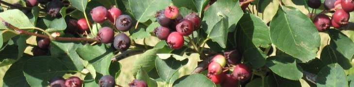 Juneberry clusters on the plant.