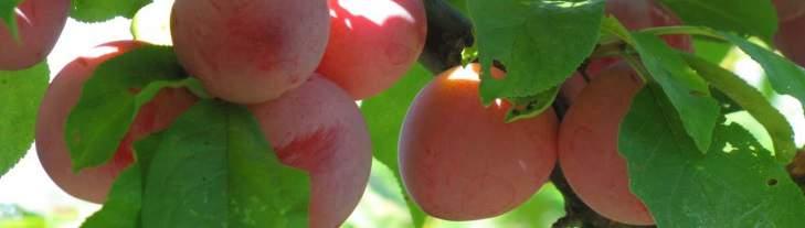 Closeup of a few plums.