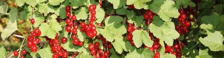 Some red currant clusters.