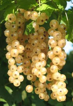 A closeup of white currant clusters.