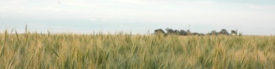 Close up of wheat field banner