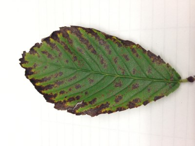 Fig. 1 Leaf Scorch - McGinnis