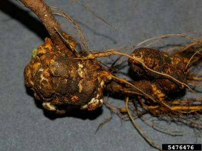 Figure 1. Crown Gall