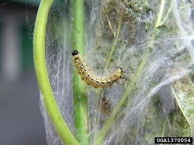 Figure 1. Fall Webworm Caterpillar
