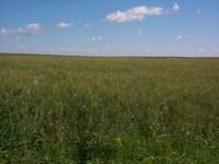 Durum Field