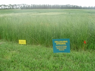 This is a picture of a field of switchgrass.