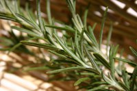 Focus on Rosemary
