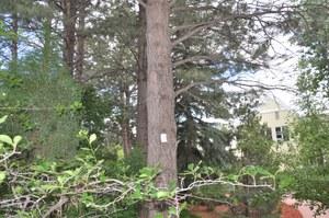 Verbenone packet on park tree