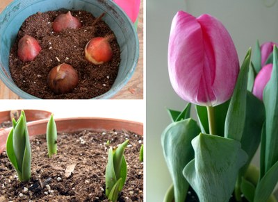 Forcing tulips