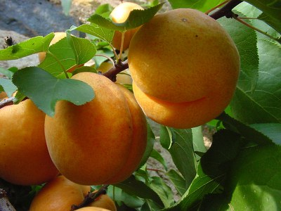 Apricots on branch