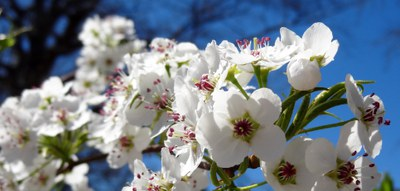 Pear blossoms-2