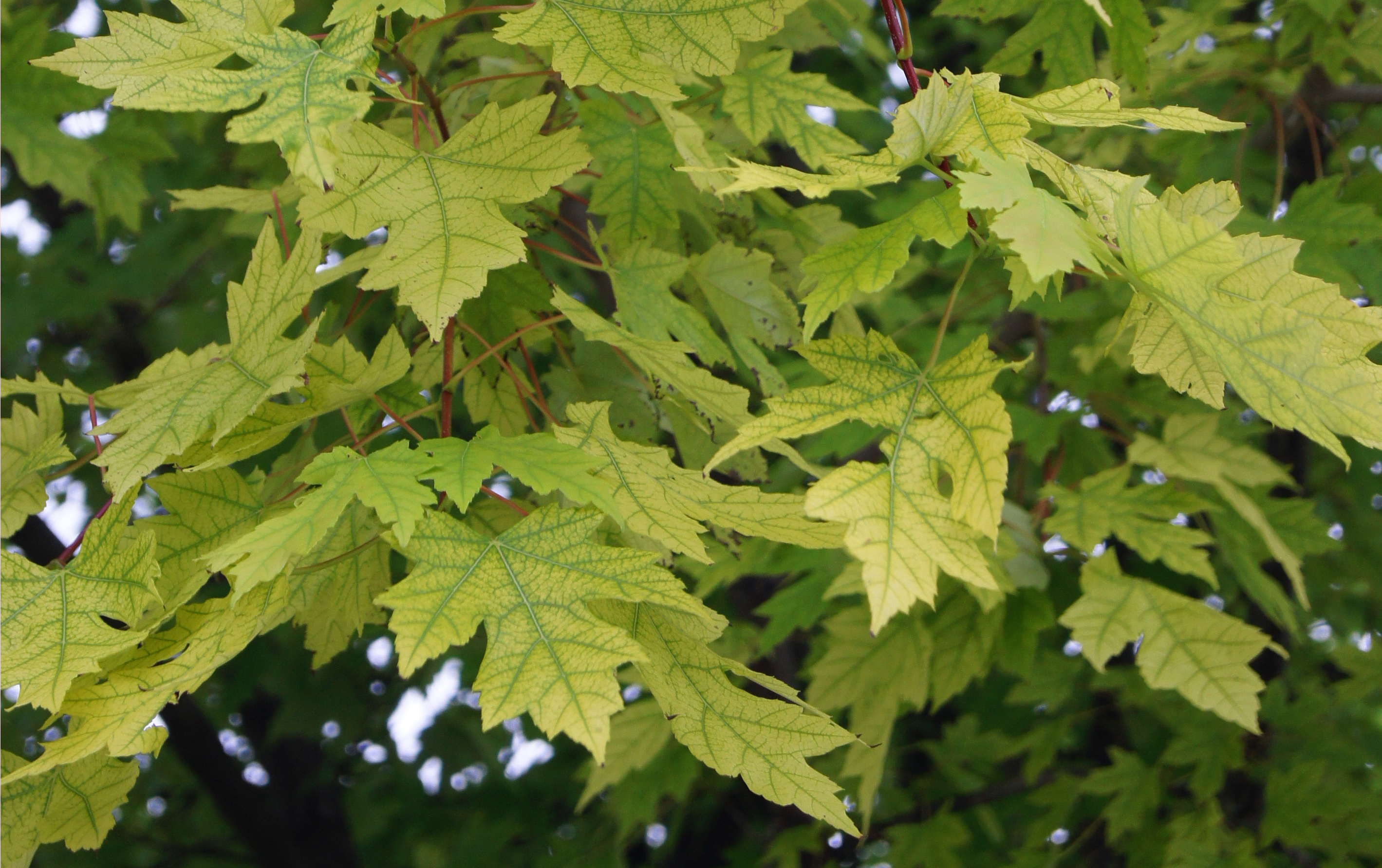 Autumn Blaze maple, iron chlorosis, close-up of leaf, NDSU campus