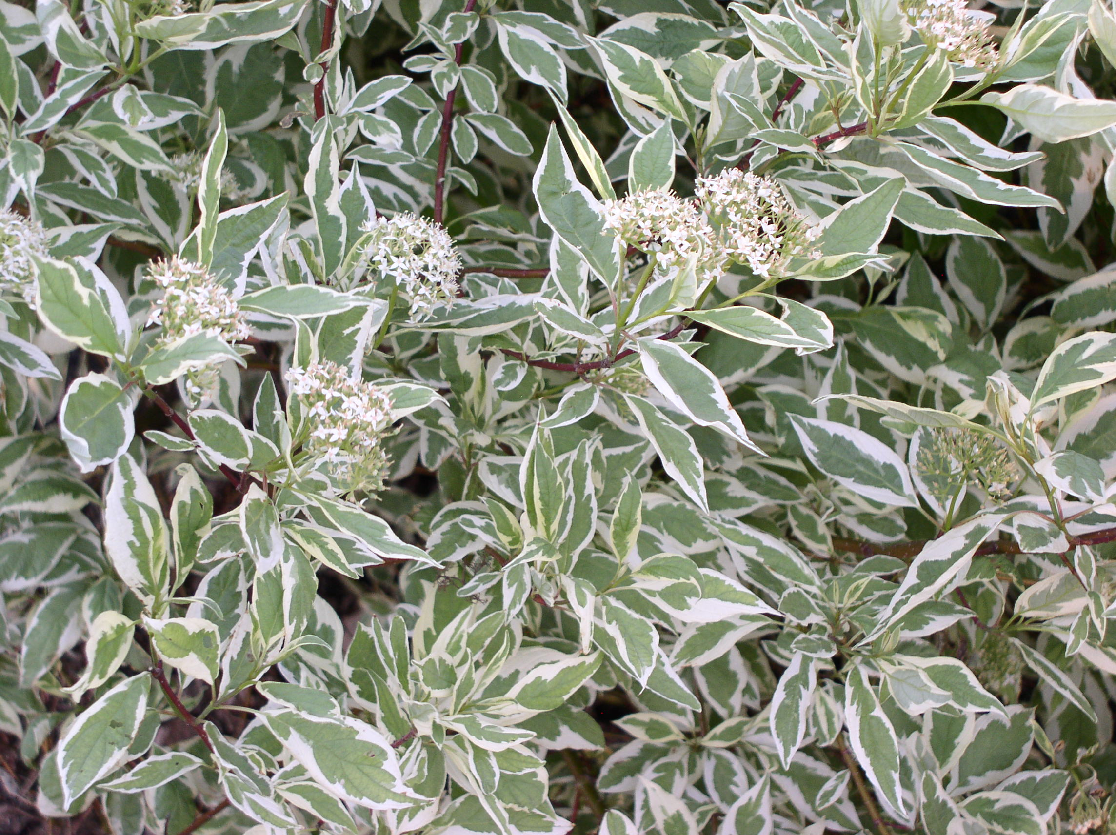Two-toned, variegated leaves of Ivory Halo dogwood.