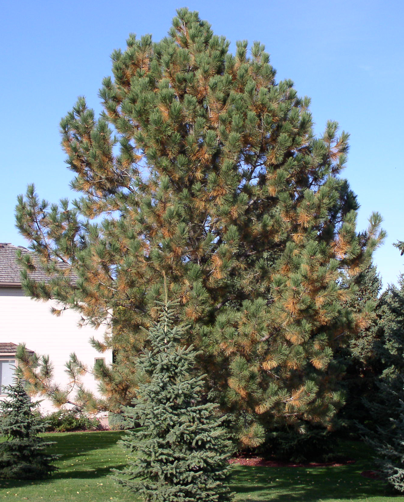 Normal Fall Needle Drop In Conifers Lawns Gardens Trees
