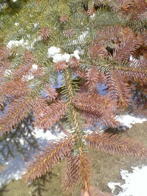 spruce, conifer, evergreen, winter injury, stress, disease