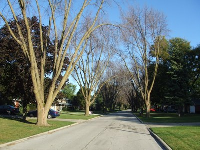 EAB-infested trees