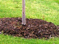 Mulched tree