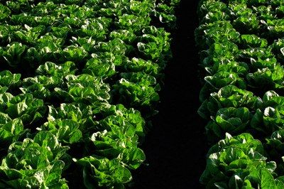 Romaine lettuce field