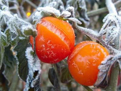 Frost damage on tomatoes