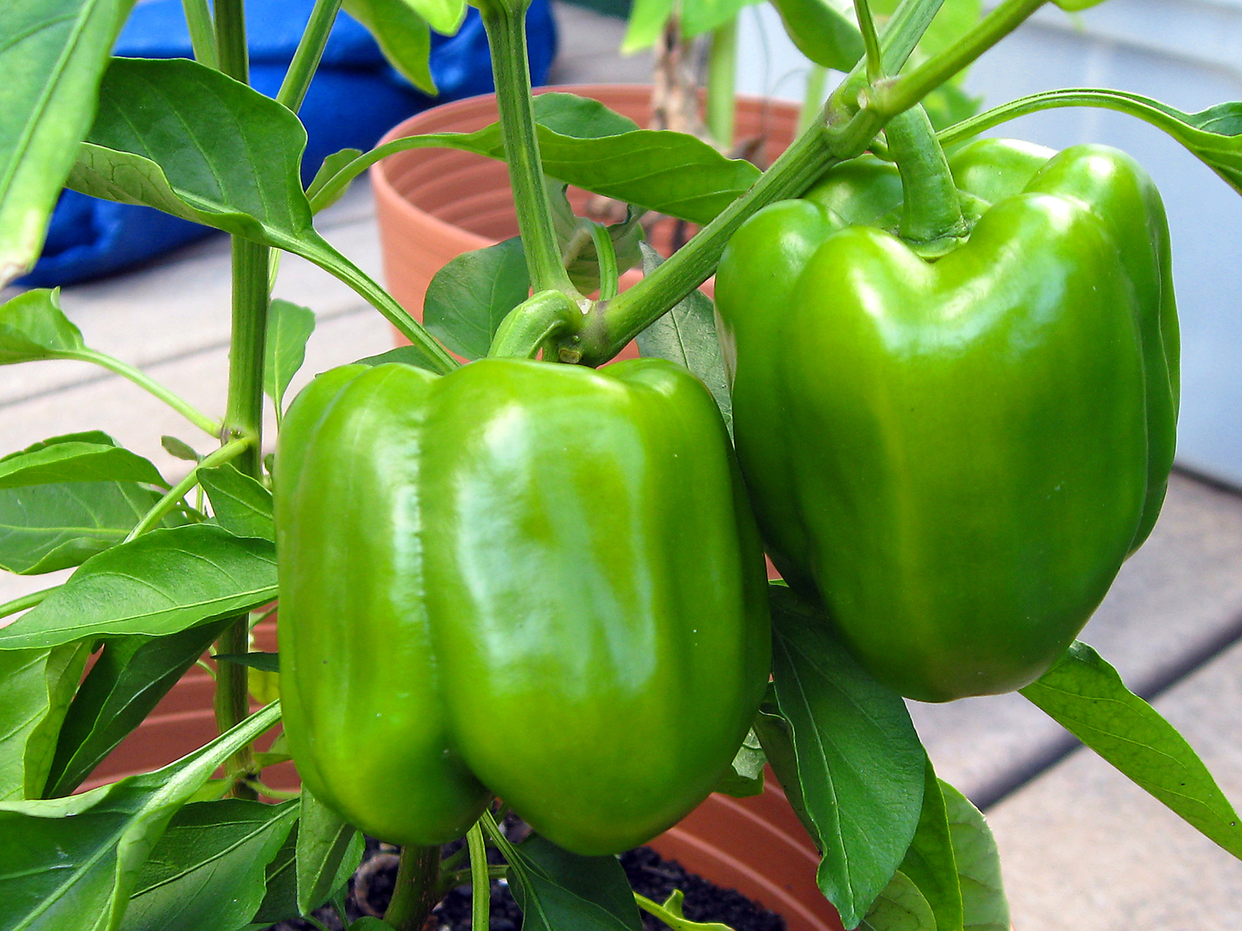 Bell peppers growing in pot