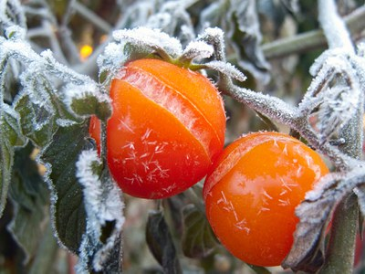 Frosted tomatoes