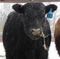 Heifer eating net wrap