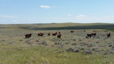 grazing west ND