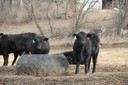Cattle with Tire Feeders