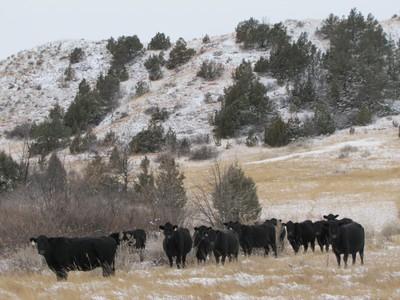 Cattle Winter Forage