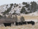Cattle Winter Forage