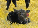 Calf with Ear Tag in Straw Bedding