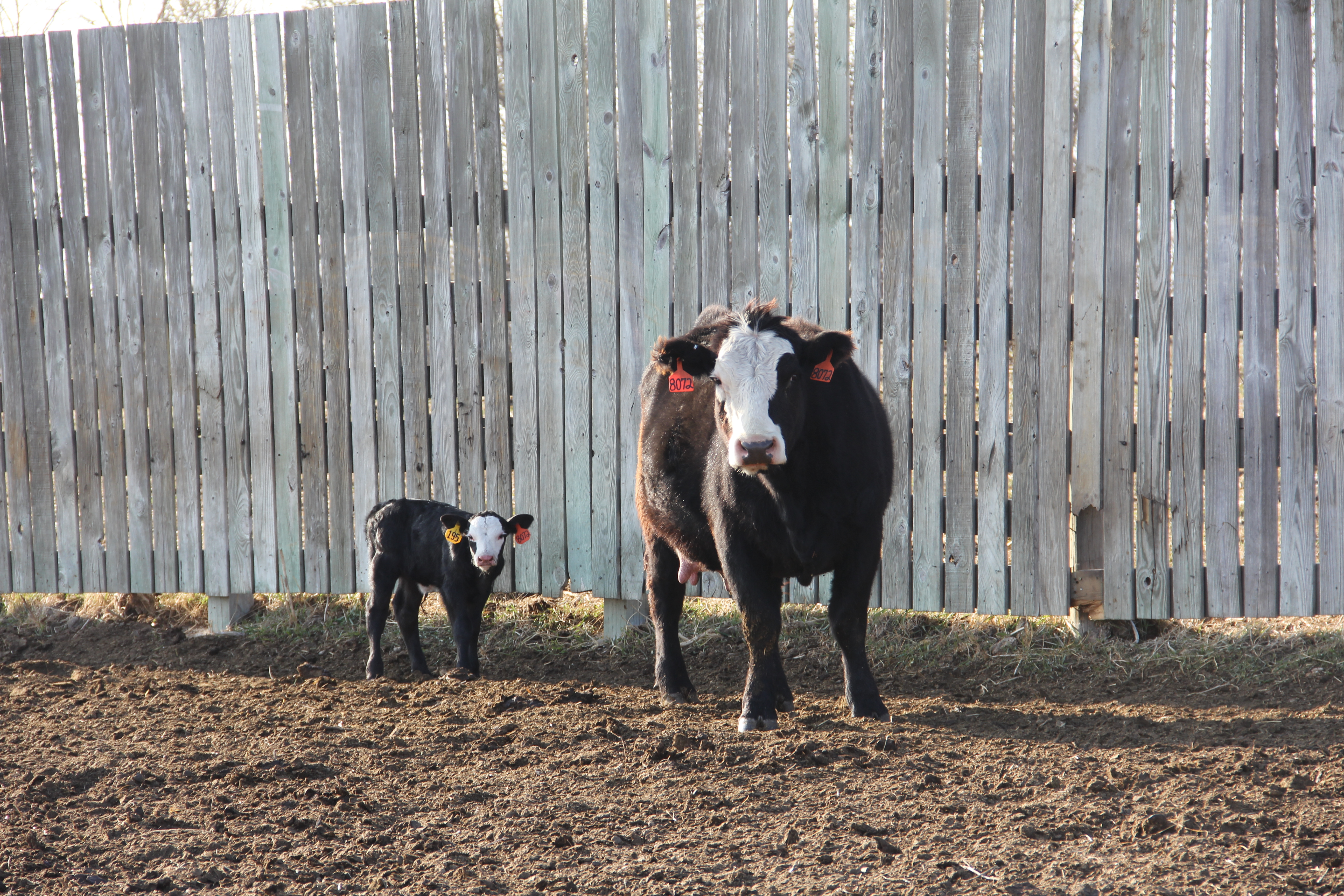 Cow and Calf in Front of Wooden Fence