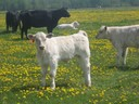White Calf with Dandelions