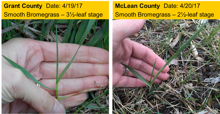 Smooth Bromegrass Stages