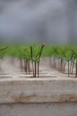 Pine seedling at Towner ab11