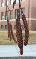 These are the catkins of a Prairie Horizon Manchurian alder on the NDSU campus. (NDSU photo)