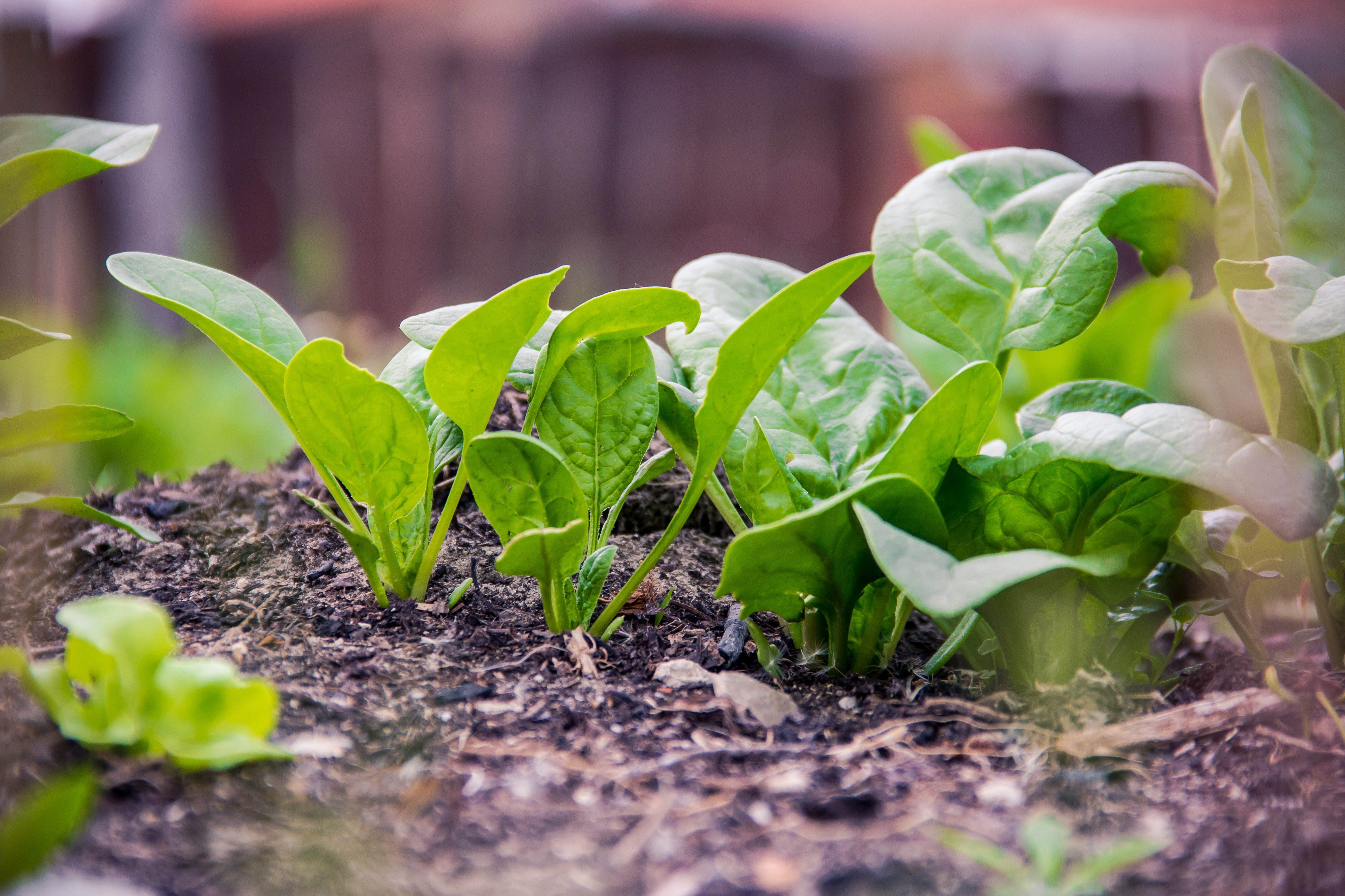 Take advantage of the weather by direct seeding some cool-season crops. (Photo courtesy of Pixabay)